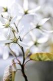 Trate las flores blancas del resorte con suavidad imágenes de archivo libres de regalías