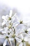 Trate las flores blancas del resorte con suavidad fotografía de archivo