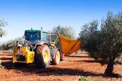 Trator que colhe azeitonas pretas na planta Fotos de Stock Royalty Free