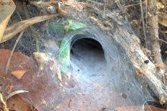Tratt som väver spindeln Arkivfoto