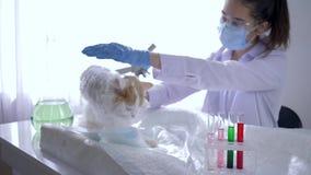 Trattamento degli animali, animale domestico veterinario di studio sullo scrittorio in laboratorio moderno stock footage