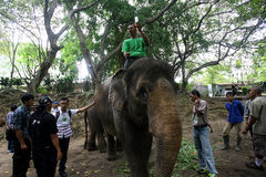 Trattamento medico dell'elefante Immagine Stock