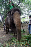 Trattamento medico dell'elefante Fotografia Stock
