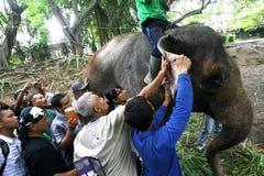Trattamento medico dell'elefante Fotografie Stock