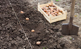 Trattato finito di coltivazione del giacimento della patata nel Gard di verdure Fotografia Stock