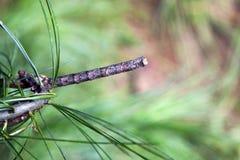 Trattore a cingoli del lepidottero del Looper Fotografie Stock Libere da Diritti