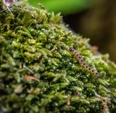 Trattore a cingoli del lepidottero dell'ermellino su muschio Fotografia Stock