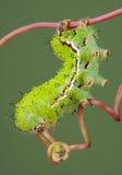 Trattore a cingoli del lepidottero sulla vite Fotografie Stock Libere da Diritti