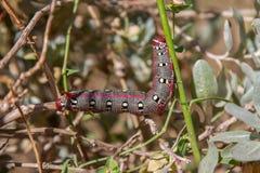 Trattore a cingoli di Hawk Moth di euforbia sulla pianta Fotografia Stock