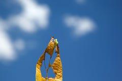Trattore a cingoli di Helicoverpa che mangia foglia nella piantatura della soia immagine stock