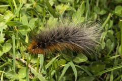 Trattore a cingoli di orso lanoso del giardino Tiger Moth Immagini Stock