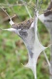 Trattore a cingoli di tenda orientale (americanum del Malacosoma) Fotografie Stock Libere da Diritti