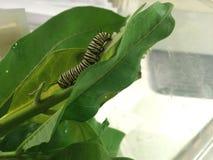 Trattore a cingoli maturo del monarca sulla foglia del milkweed Immagine Stock Libera da Diritti