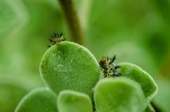 Trattore a cingoli nero con le spine dorsali e gli occhi arancio, insetto che si alimenta le foglie verdi in tempo piovoso fotografia stock