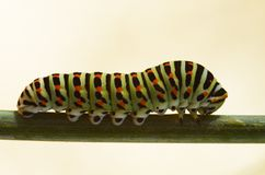 Trattore a cingoli su un gambo - machaon della farfalla di coda di rondine di Papilio Immagine Stock