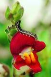 Trattore a cingoli sul fiore rosso Fotografie Stock Libere da Diritti