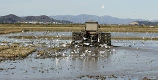 Trattore del riso, giacimenti bagnati del riso e gabbiani Immagine Stock Libera da Diritti
