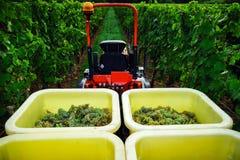 Trattore in vigne mentre vendange nell'Alsazia Fotografia Stock