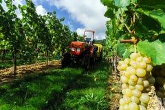Trattore in vigne mentre vendange nell'Alsazia Immagini Stock
