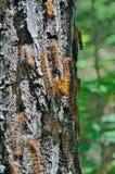 Trattori a cingoli del lepidottero zingaresco 6 Fotografia Stock