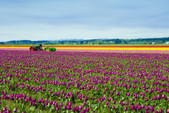 Trattori nei tulipani Fotografia Stock
