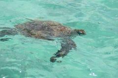 Trau auxiliar com tartaruga fotografia de stock royalty free