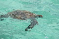 Trau som är hjälp med sköldpaddan royaltyfri fotografi