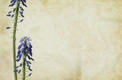 Traube-Hyazinthe Blumen Lizenzfreies Stockfoto
