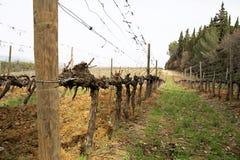 Traube im Weinberg im Vorfrühling Stockfotos