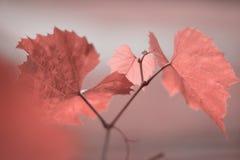 Traube verlässt in der Farbe des Jahres 2019 Pantone - Lebenkoralle stockfotografie