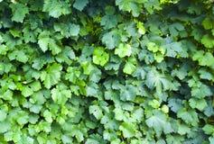 Traube verlässt Hintergrund Weinbergmuster Grün lässt Muster Lizenzfreie Stockfotografie