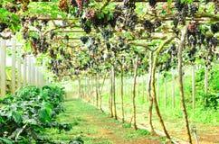 Trauben auf der Rebe im Weinberg Stockfoto