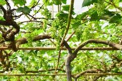 Trauben auf der Rebe im Weinberg Stockfotos