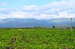 Trauben-Bearbeitung - ein Weinberg mit Hintergrund von Hügeln - Tamilnadu, Indien Stockfotografie