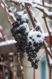 Trauben bedeckt mit Schnee - Icewine-Trauben Stockbild