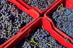 Trauben betriebsbereit zum Wein Lizenzfreies Stockbild