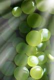 Trauben betriebsbereit zur Ernte stockbild