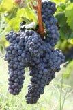 Trauben betriebsbereit zur Weinlese Lizenzfreies Stockbild
