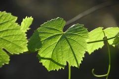 Trauben-Blätter Lizenzfreie Stockfotografie