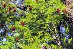 Trauben der roten Eberesche, die an den Niederlassungen hängt Lizenzfreies Stockbild
