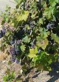 Trauben an der Weinkellerei Stockfoto