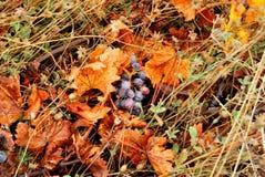 Trauben, die aus den Grund liegen Stockbild