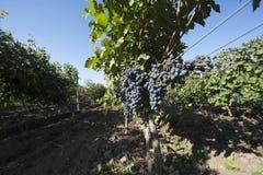 Trauben, die in einer Weinkellerei wachsen Stockbilder