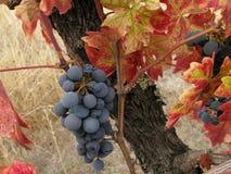 Trauben, die nach der Ernte bleiben Stockbild