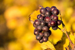 Trauben in einem französischen Weinberg im Herbst Stockfotos