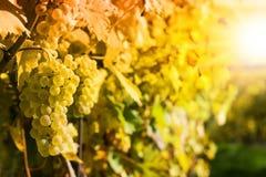 Trauben in einem Weinberg Stockfotos
