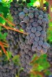 Trauben in einem Weinberg Stockbilder