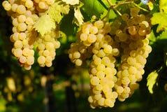 Trauben in einem Weinberg in Italien Lizenzfreie Stockfotografie