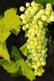 Trauben in einem Weinberg in Italien Stockfoto