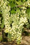 Trauben in einem Weinberg in Italien Lizenzfreie Stockfotos